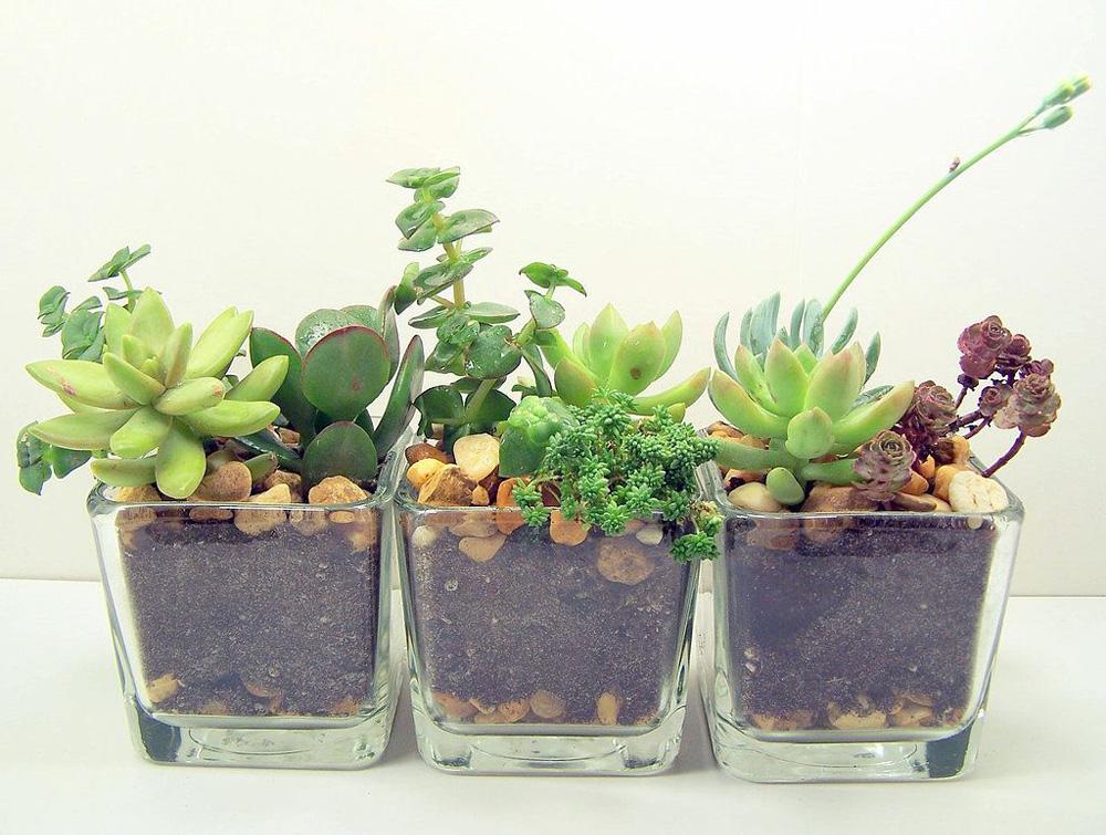 Small plants in Three Glass Pots
