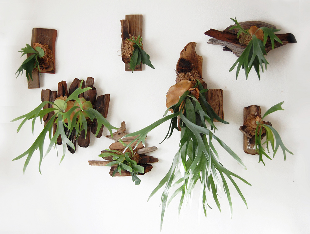 Staghorn Ferns on White Wall